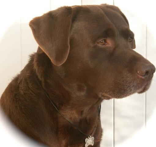 gérie atelier BSC Labrador Bijoux pour animaux